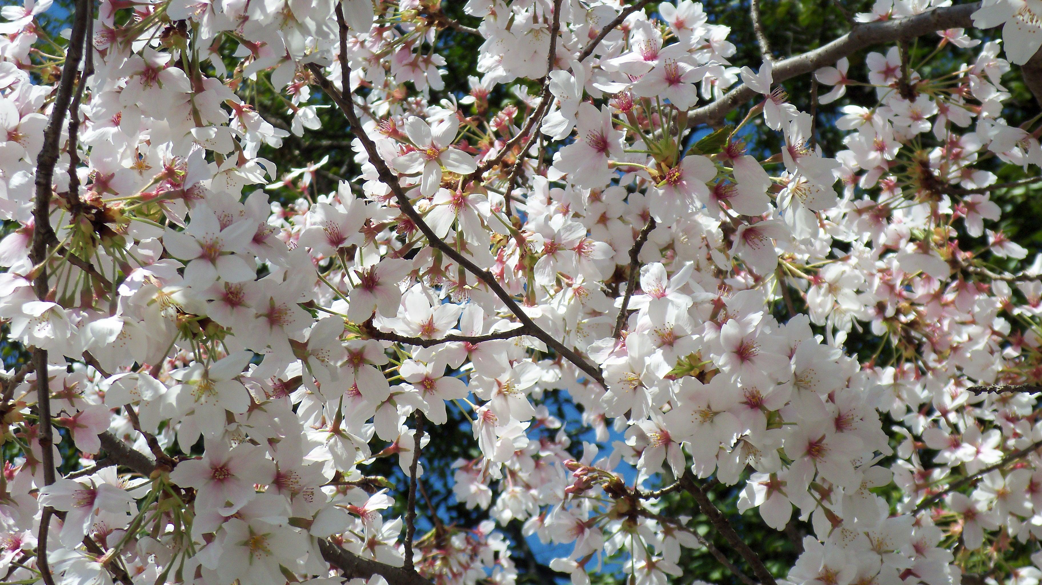 washington quand les cerisiers sont blancs la vie tout simplement. Black Bedroom Furniture Sets. Home Design Ideas