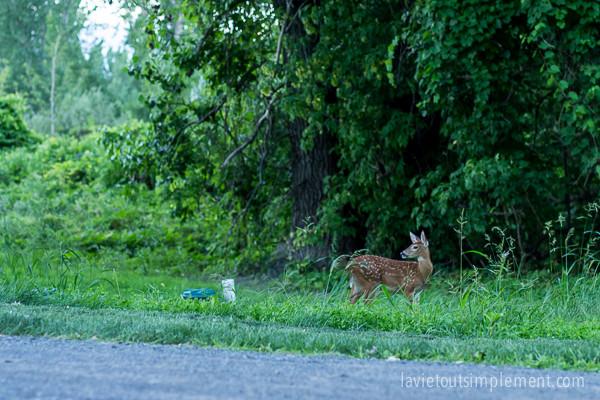 Bébé cerf de Virginie - Parc national des Îles-de-Boucherville de la Sépaq | lavietoutsimplement.com #parcsquebec