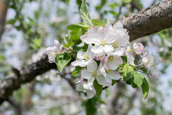 Fleur de pommier. Pommiers fleuris des Vergers Lafrance. Tous les détails sur le blogue.