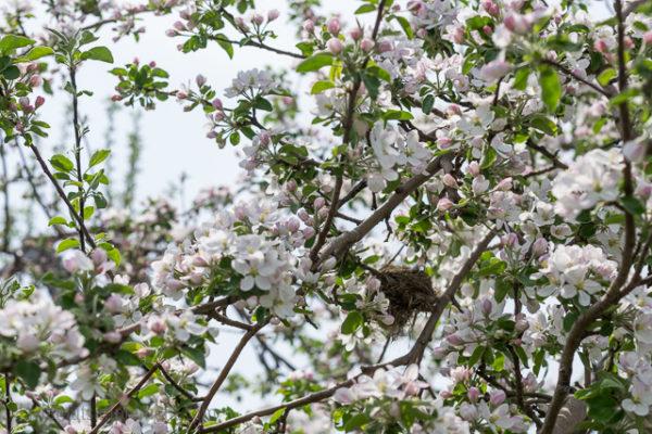 Fleur de pommier et nid d'oiseau. Pommiers fleuris des Vergers Lafrance. Tous les détails sur le blogue.
