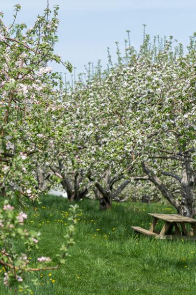 Fleur de pommier. Prise dans aux Vergers Lafrance.   Escapades et idées vacances au Québec