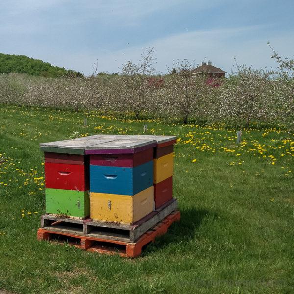Ruche. Pommiers fleuris des Vergers Lafrance. Tous les détails sur le blogue.